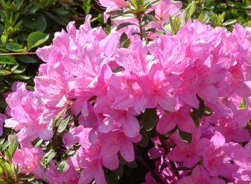 Orto giardino giardino for Cespugli fioriti perenni da giardino