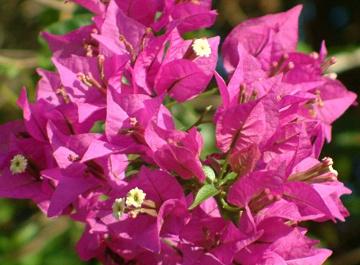 Piante da fiore sempreverdi latest magnolia da fiore in for Fiori rampicanti da giardino
