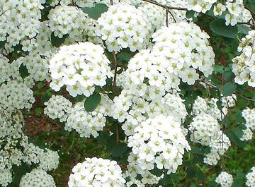 le poto subito dopo la fioritura per far emettere la nuova vegetazione ...